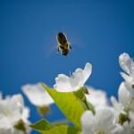 Mit dem Bienen-Miet-Service bekommt das fleissige Völkchen eine willkommene Abwechslung und der Imker auf Zeit eine süße Entlohnung. (Foto: © fotokostic /istock).