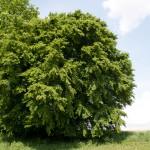 Baum-(1-von-1)