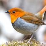 Das Rotkehlchen und seine Artgenossen können getrost ihre Frühlingslieder singen und brauchen keine Angst vor Vogelgrippehusten zu haben. (Foto: pixabay.com)